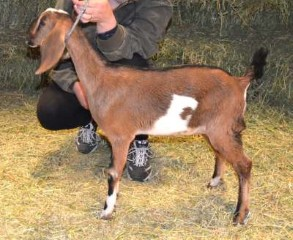 Reuel Dairy Goats For Sale